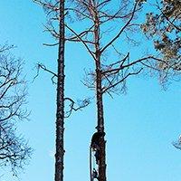 Кронирование старого дерева