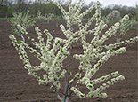 Расцвел абрикос