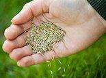 Так выглядят семена будущей лужайки
