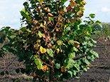 Растение с больными побегами