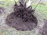 Выкорчевывание дерева