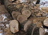 Порезанный дуб