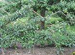 Изгородь из груш