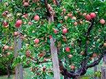 Плодоносная яблоня