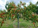 Подвязка персика