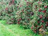 Плодоносний сад